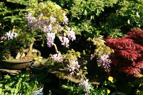 Wisteria sinensis as bonsai