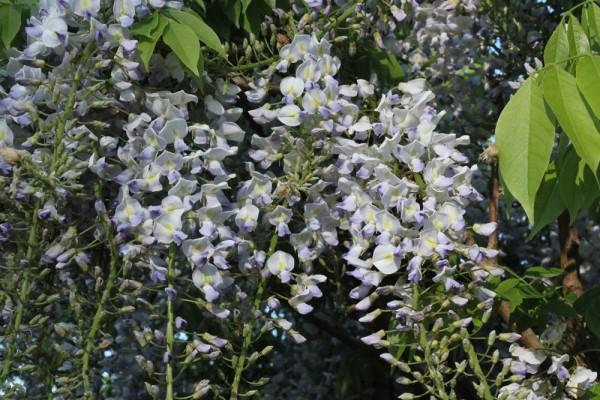 Wisteria floribunda 'Geisha'