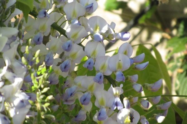 Wisteria floribunda 'Lawrence'