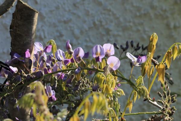 Wisteria floribunda 'Domino'